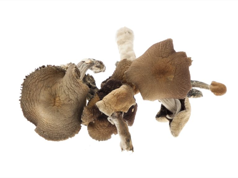 For optimal drying, the Golden Teacher mushrooms should be evenly spread on a flat surface, with a piece of paper towel between the surface and the mushrooms to help absorb the moisture