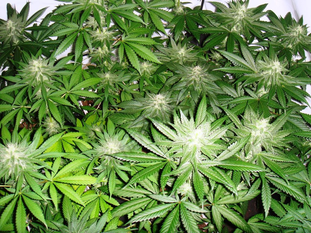 Cannabis plants with green leaves, bloom stage