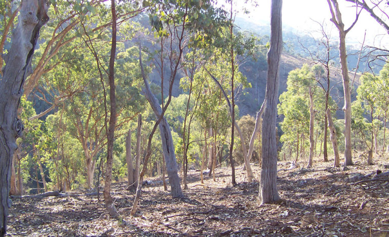 The eucalyptus exerts a strong inhibitory effect on the germination of other plants