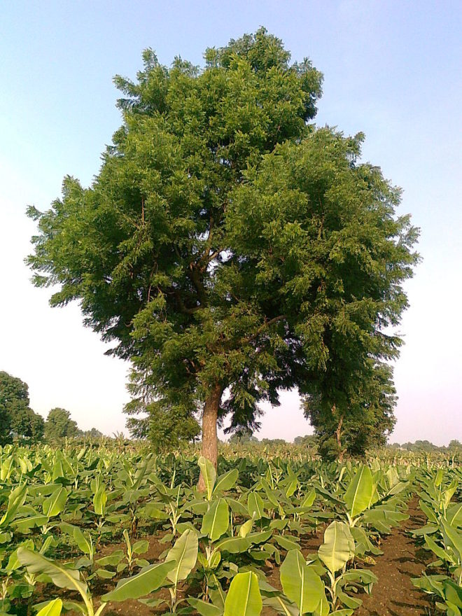Neem tree among banana crops in India