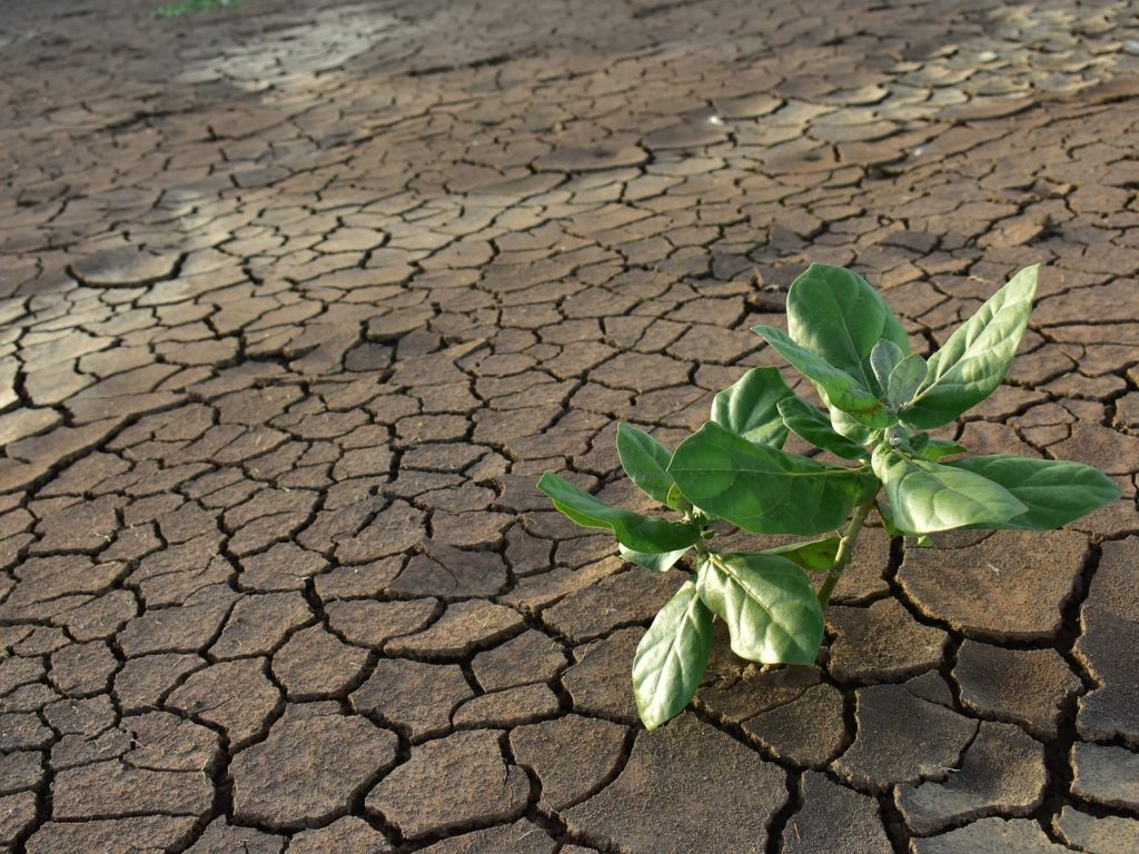 Abscisic acid is crucial to plants' response to the stress of drought or cold