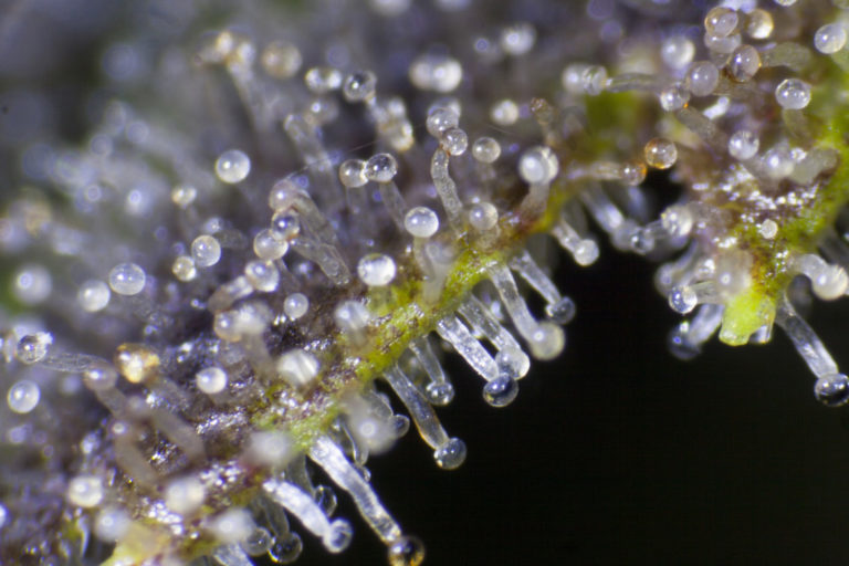 How to improve the production of cannabis trichomes- Alchimiaweb