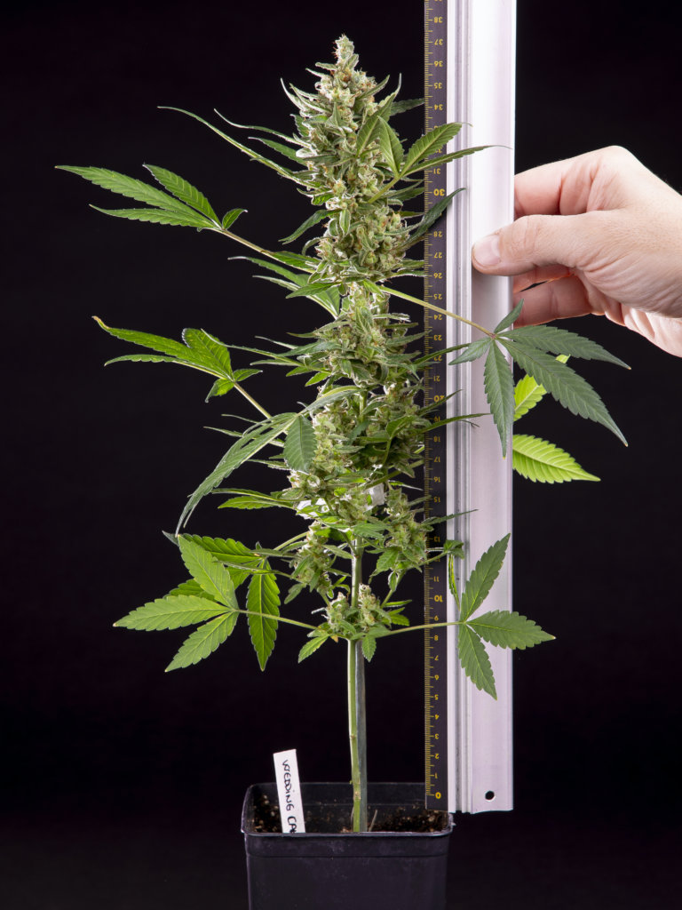 Auto-flower plants stay to a discreet height (Philosopher Seeds)
