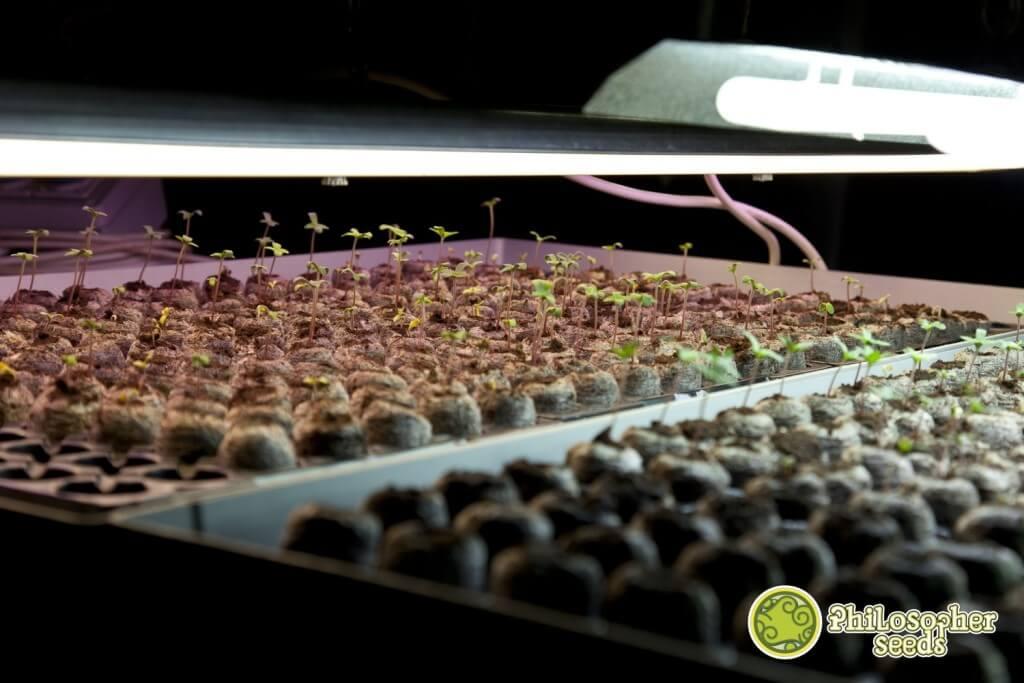 Seeds germinating in jiffy pellets