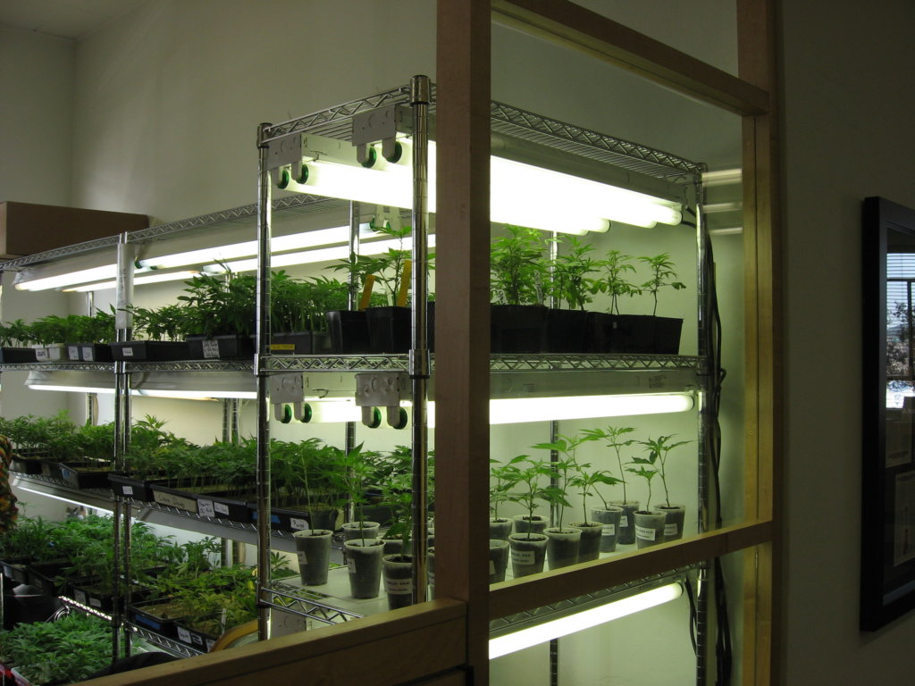 Clones bought from a dispensary can carry diseases into your grow