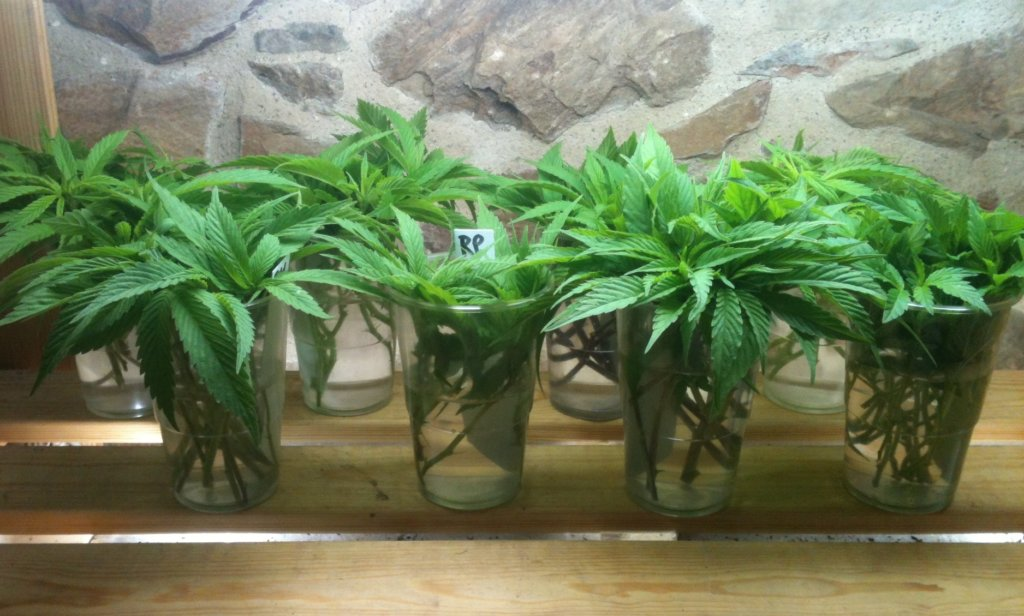 Unrooted clones are not only easier to send but are also safer to receive