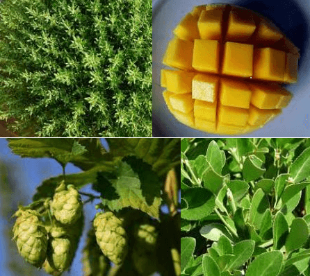 Thyme, mango, hops and laurel also contain myrcene