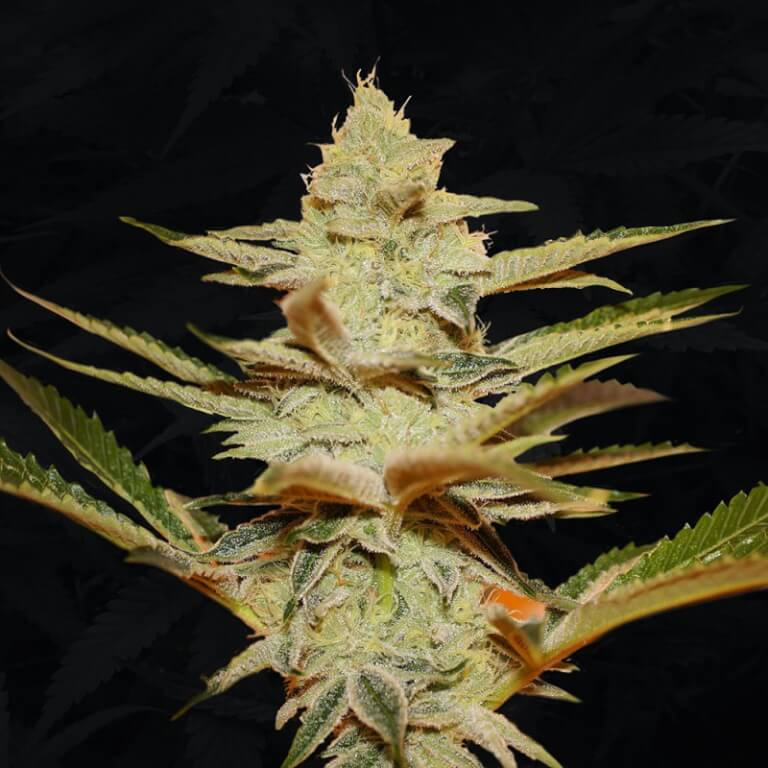 Stracciatella by TH Seeds