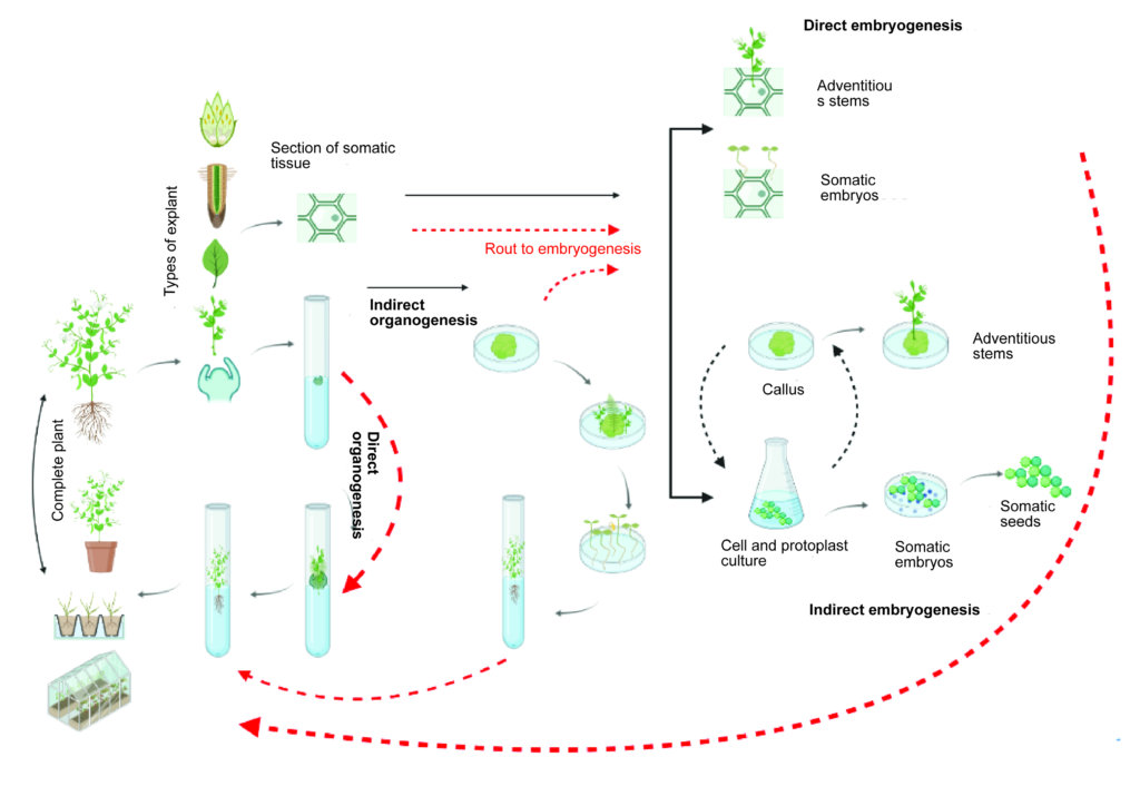 Examples & routes of direct and indirect organogenesis & embryogenesis