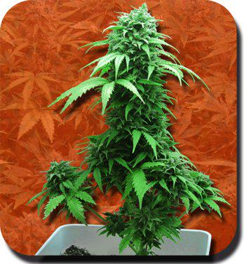 Marijuana autofleurisante
