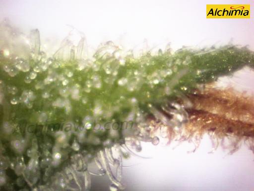 tricomas-cristalinos1