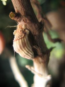 cochinilla-acanalada-225x300