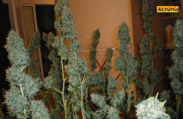 Plantes de cannabis au fin de floraison