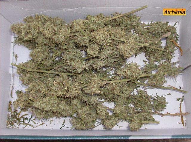 Cannabis en phase de curing