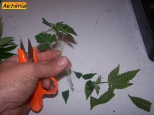 La bouture de cannabis blog du growshop alchimia - Comment faire des boutures ...