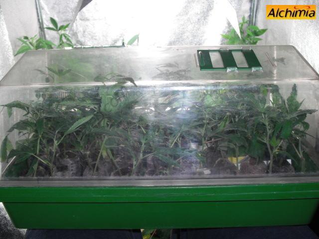 La bouture de cannabis blog du growshop alchimia for Serre pour cannabis interieur