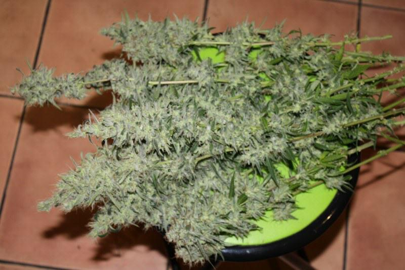 Cultiver du cannabis avec des lampes basses consommation for Culture du cannabis en exterieur etape par etape