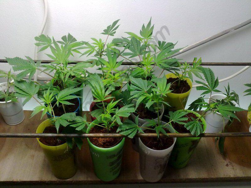 culture de cannabis en sog sea of green blog du growshop alchimia. Black Bedroom Furniture Sets. Home Design Ideas
