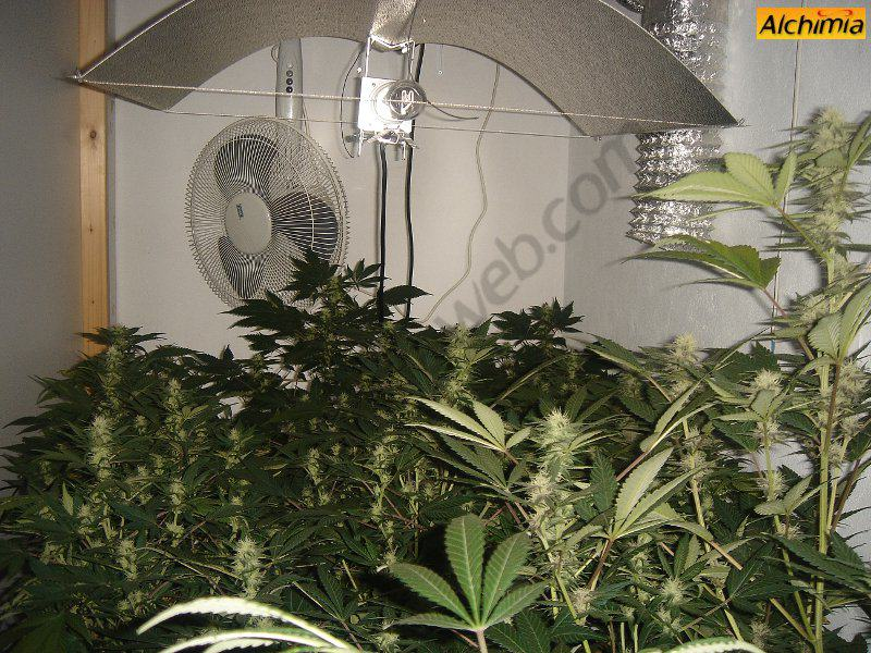 African free blog du growshop alchimia for Skunk interieur