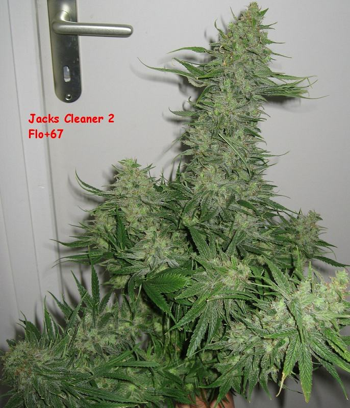 Comment choisir et faire germer les graines de cannabis for Plant de pot exterieur