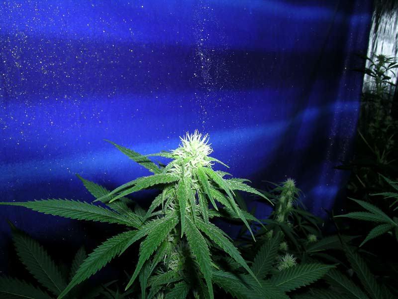 comment choisir et faire germer les graines de cannabis. Black Bedroom Furniture Sets. Home Design Ideas