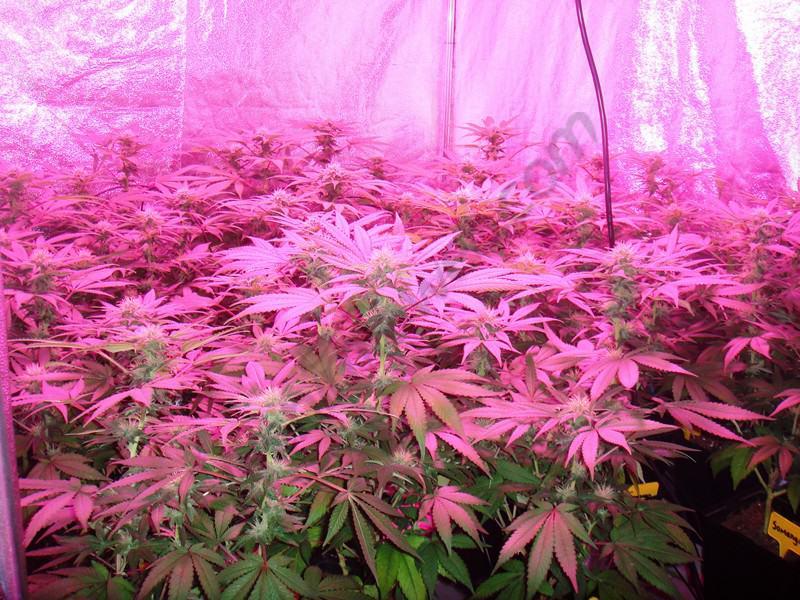 culture de cannabis avec des lampes led blog du growshop alchimia. Black Bedroom Furniture Sets. Home Design Ideas