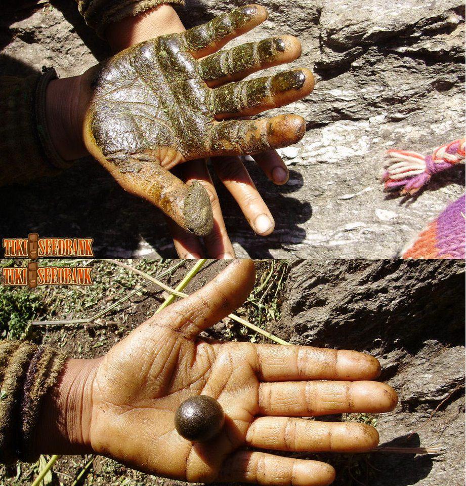 Charras récupéré manuellement sur les plantes fraiches