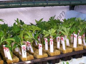 Comment cultiver cannabis en laine de roche blog du growshop alchimia - Comment couper une tomate en cube ...