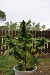 Culture de cannabis selon la latitude blog du growshop for Planter du cannabis en exterieur