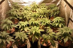 Cannabis en floraison en substrat Mapito