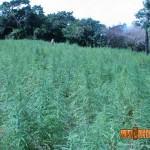 Cultiver du cannabis en climat hostile