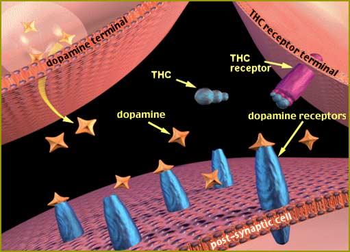 THC dans le cerveau