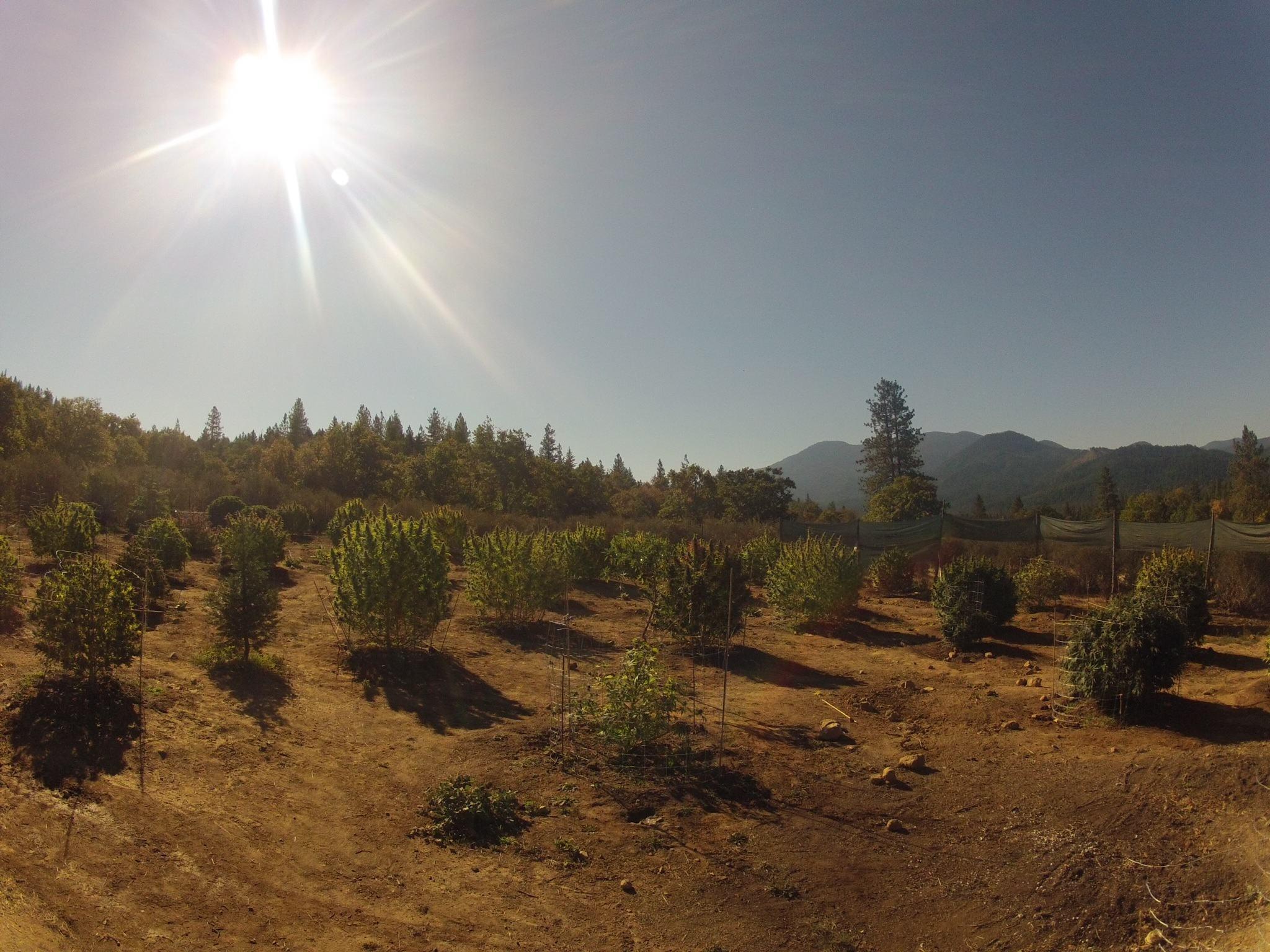 Plantes de cannabis sous le soleil