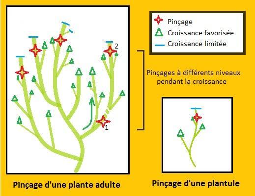 Pinçage des plantes de cannabis