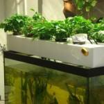 Culture intérieure en système aquaponique.
