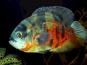 Astronotus Ocellatus (poisson oscar)