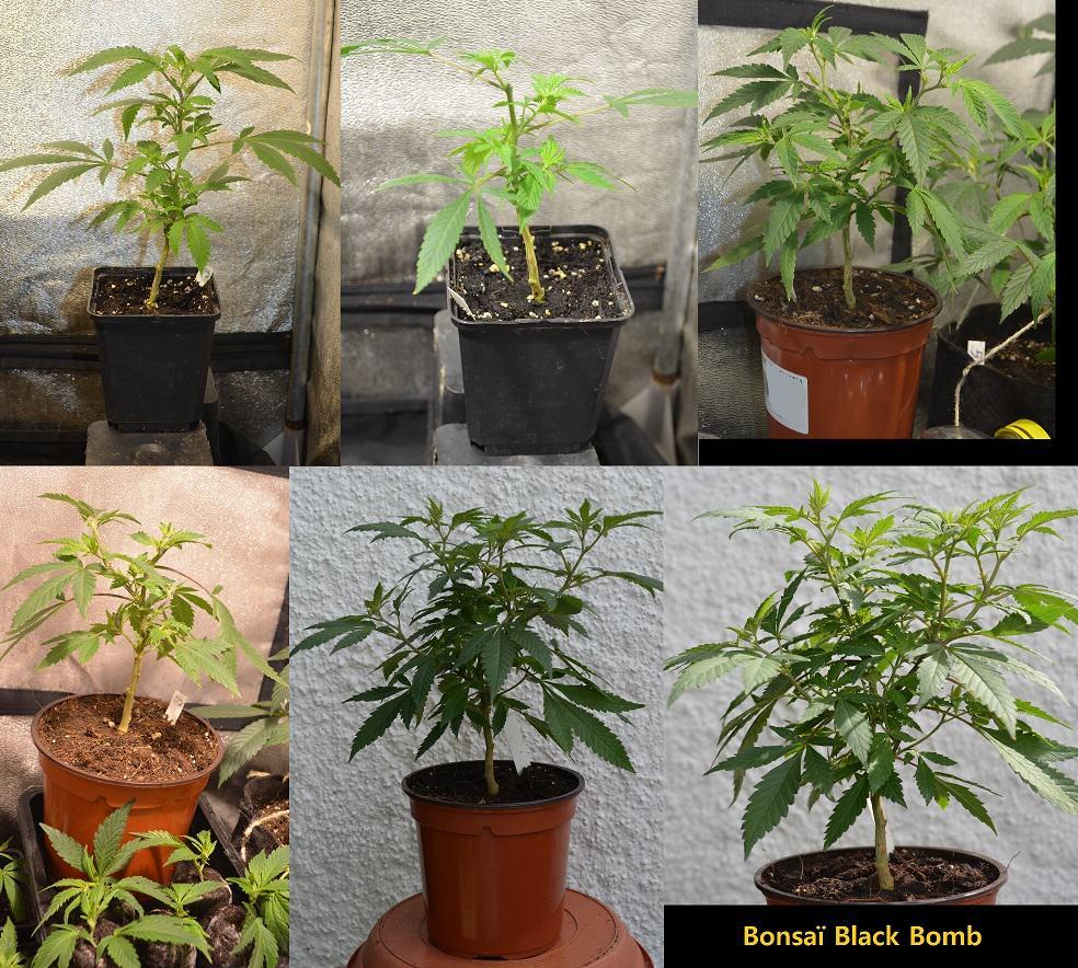 Formation d'un bonsaï pas à pas
