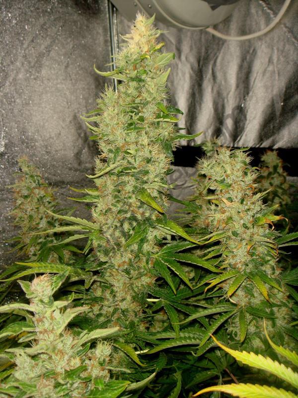 Culture de cannabis avec les engrais metrop blog du for Culture cannabis interieur engrais