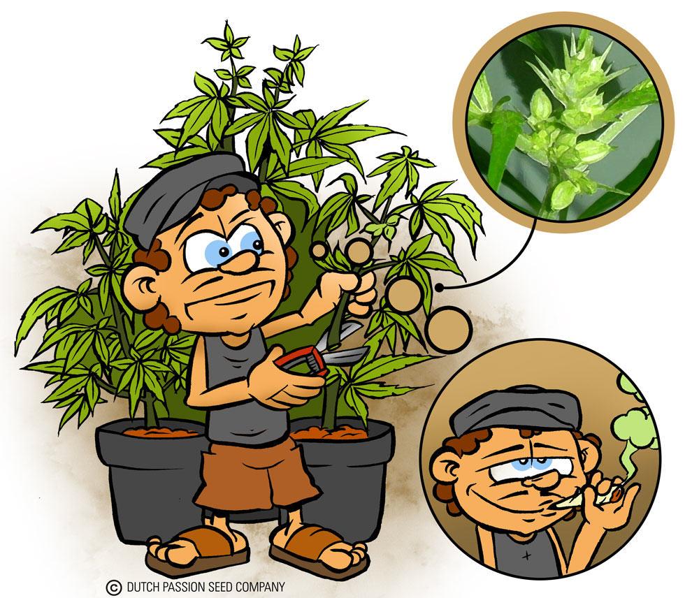 Les plantes de cannabis hermaphrodites doivent être supprimées de l'espace de culture