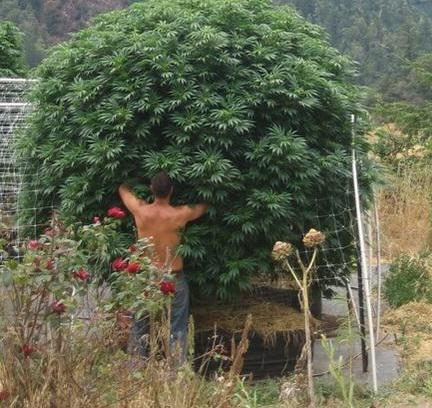 Énorme plante de marijuana outdoor