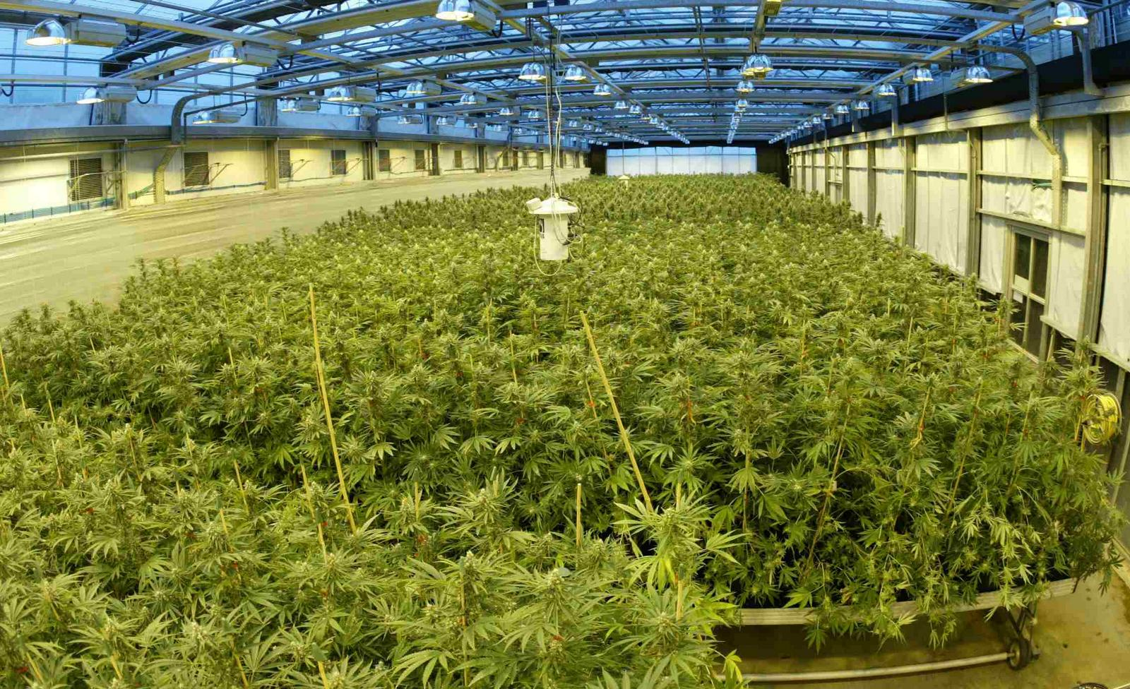 Les m dicaments base de cannabis autoris s en france for Cannabis plantation interieur