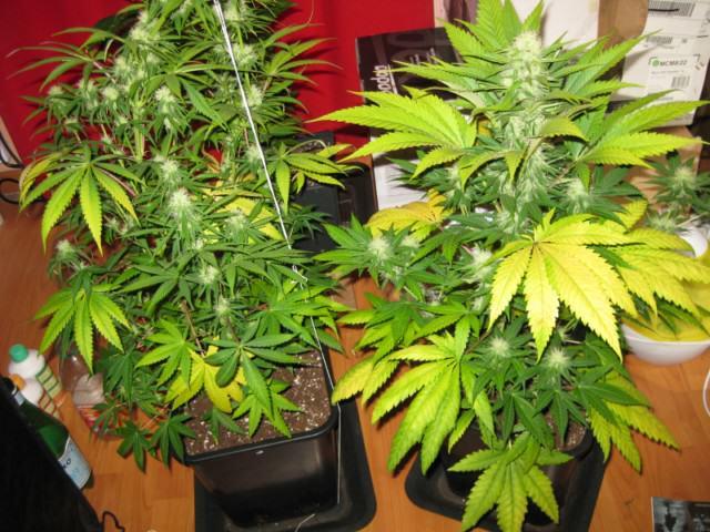 Utiliser l engrais pour cultiver du cannabis en terre for Meilleur engrais pour cannabis exterieur