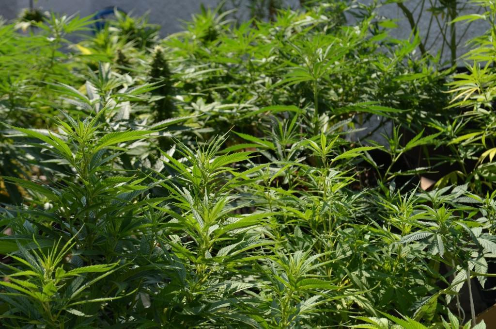 Une culture de cannabis comprenant un maximum de génétiques différentes