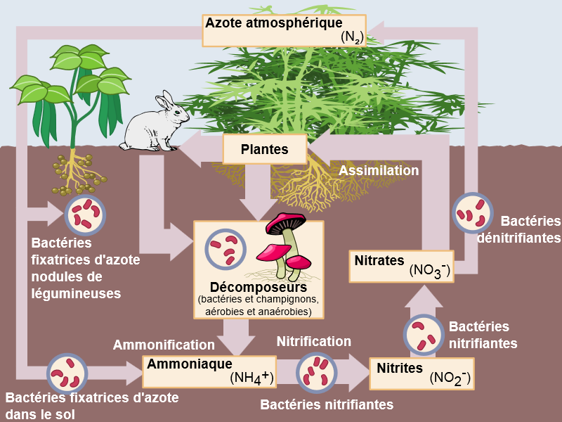 azote-carence-exces-plantes-cannabis