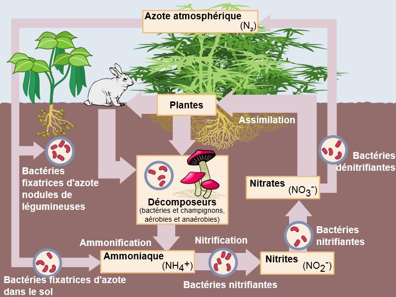 Azote: Carences et excès chez les plantes de cannabis