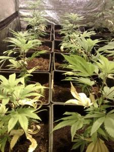 Plantes en carences en azote