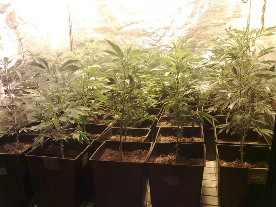 Les plantes de cannabis en meilleure santé