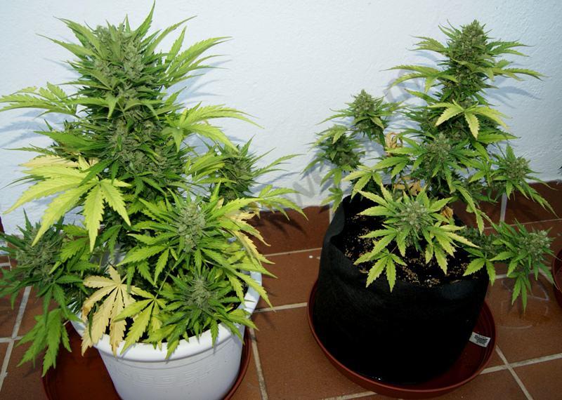 La diff rence est pr sent flagrante la t te principale for Culture cannabis exterieur en pot
