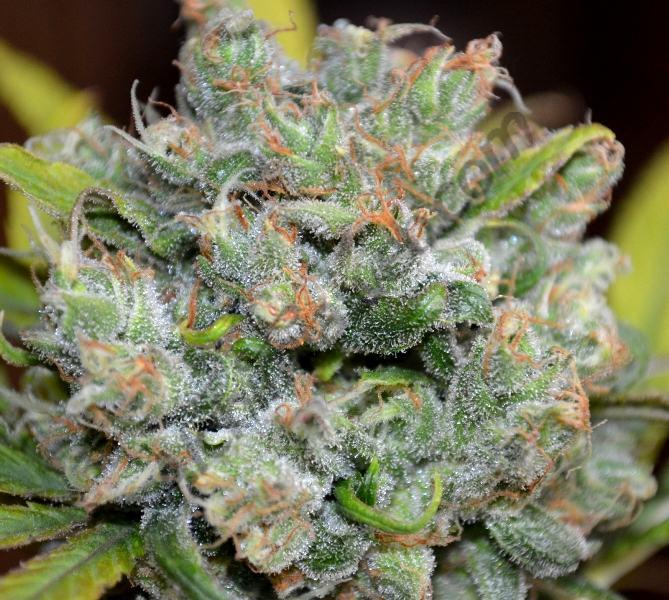 Plante de cannabis CBD Sweet n Sour Widow (CBD Crew), enrichie en CBD