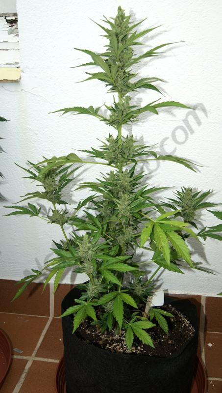 Flash babylon smart pot 11l en fleurs blog du growshop for Culture cannabis exterieur en pot